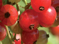 LE JARDIN DES PETITS FRUITS -